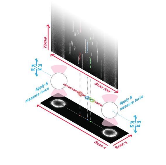 Single Molecule and Fluorescence Spectroscopy (Professor Victor Muñoz)